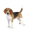 Beagle_list