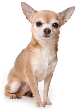 Chihuahua Short-haired Small Dog Breed