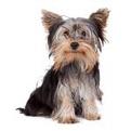 Yorkshire_Terrier_list