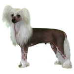Chinese Crested Hairless Small Breed dog