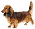 dachshund_long_hair_list