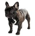 french_bulldog_list